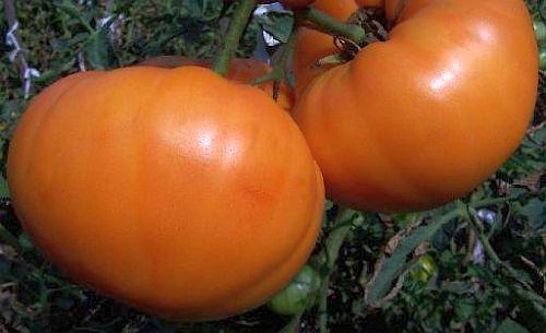 Tomate Amana Orange beefsteak tomato seeds