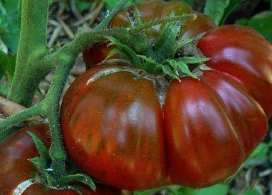 Tomate Black Aisberg dark colored beefsteak tomato seeds