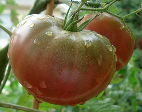 Tomate Black Krim heirloom tomato seeds