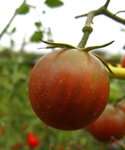 Tomate Black Pear black tomato seeds