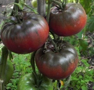 Tomate Black from Tula black beefsteak tomato seeds