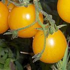 Tomate Cherry Gold Nugget Pomodoro Cherry Gold Nugget semi