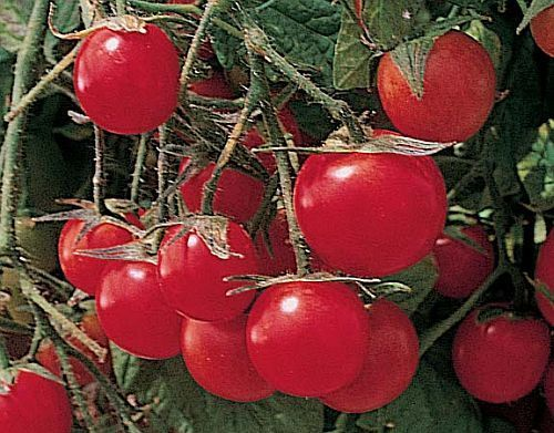 Tomate Gartenperle cocktail tomato seeds