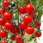 Tomate Italian Red Cherry Pomodoro Italian Red Cherry semi