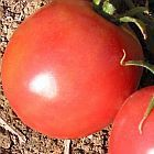 Tomate Market Wonder  cемян