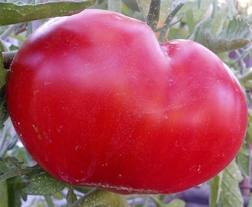 Tomate Mortgage Lifter tomato seeds