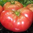 Tomate Pantano Romanesco Tomato Pantano Romanesco semillas