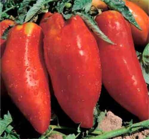 Tomate Piramide tomato seeds
