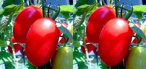 Tomate Rio Fuego red tomato seeds