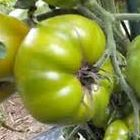 Tomate Tasty Evergreen  semillas
