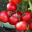 Tomato Dwarf Window Box Red  semillas