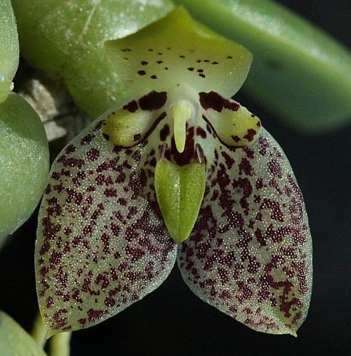 Trias cambodiana orchids seeds