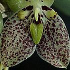 Trias cambodiana  cемян