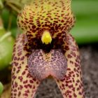 Trias disciflora syn: Bulbophyllum disciflorum Samen
