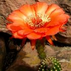 Trichocereus Golden Orange  semillas