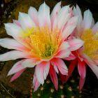 Trichocereus Worlitz x Cantora syn: Echinopsis WORLITZ X CANTORA Samen