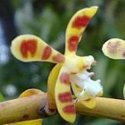 Trichoglottis cirrhifera Orchideen Samen