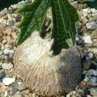 Tricyclandra leandrii  Caudexpflanze Samen