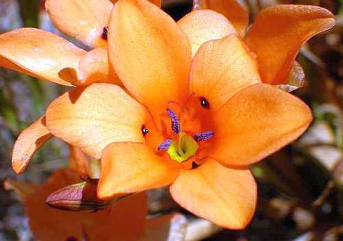 Tritonia deusta Tritonia seeds