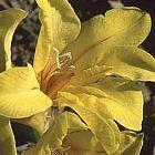 Tritonia florentiae  cемян