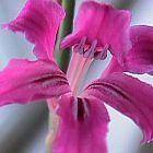 Tritoniopsis lata  cемян