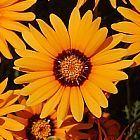 Ursinia anthemoides Ursinia graines