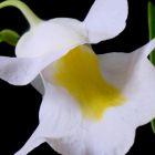 Utricularia alpina alpiner Wasserschlauch Samen