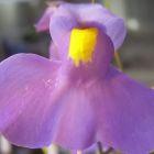Utricularia longifolia Utriculaire graines