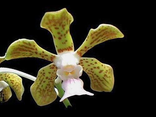 Vanda bensonii orchids seeds