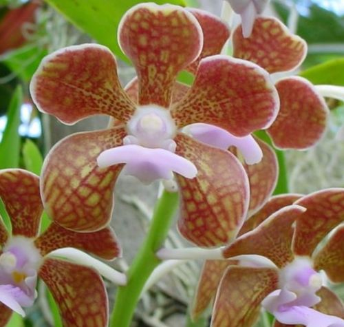 Vanda brunnea Orchids seeds