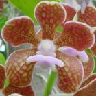 Vanda brunnea Orchideen Samen