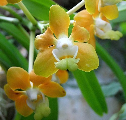 Vanda denisoniana orchids seeds