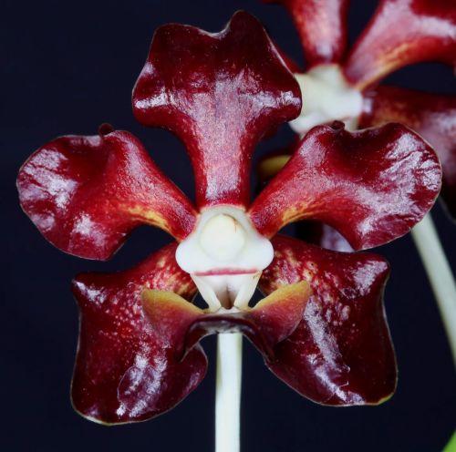 Vanda merrillii Merrills Vanda seeds