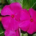 Vinca rosea Pervinca, Pervinche semi