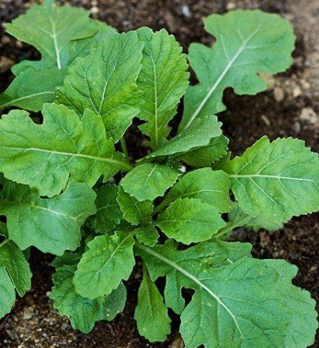 Wasabi arugula Rocket Wasabi seeds