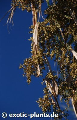 Washingtonia filifera desert fan palm - California fan palm seeds
