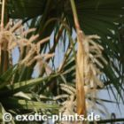 Washingtonia filifera Kalifornische Washingtonpalme Samen