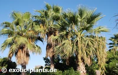 Washingtonia robusta Mexican Fan Palm seeds