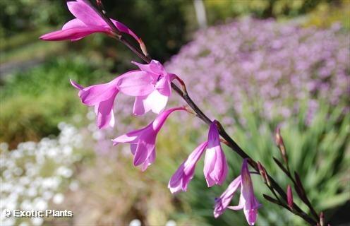 Watsonia borbonica purple watsonia seeds