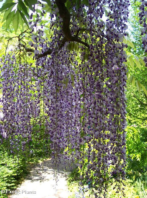 Wisteria sinensis - Chinese Wisteria seeds