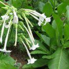 Woodland tobacco Nicotiana sylvestris  semillas