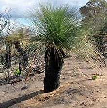 Xanthorrhoea preissii Grass Tree - Balga seeds