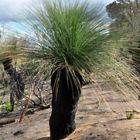Xanthorrhoea preissii Grasbaum Samen