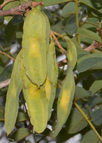 Xeroderris stuhlmannii Wing pod - Wing bean seeds
