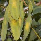 Xeroderris stuhlmannii  semillas