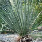 Yucca elata Soaptree - glauque - Palmella graines
