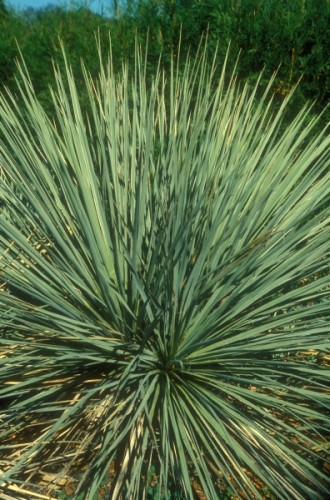 Yucca glauca soapweed yucca - Great Plains yucca – small soapweed seeds