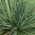 Yucca glauca Yucca Samen