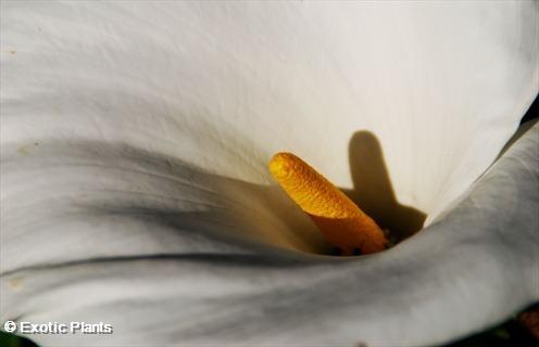 Zantedeschia aethiopica white or common arum lily seeds