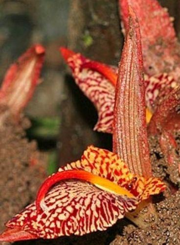 Zingiber rubens Bengal Ginger seeds